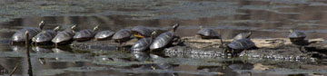 Painted turtles catching rays on log in Wood Parcel pond