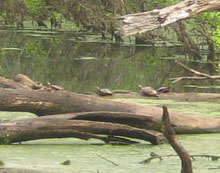 How many painted turtles basking on logs in the duck pond?