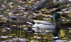 Mallards in Bell Pond