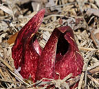 skunk cabbage in the Wood Parcel